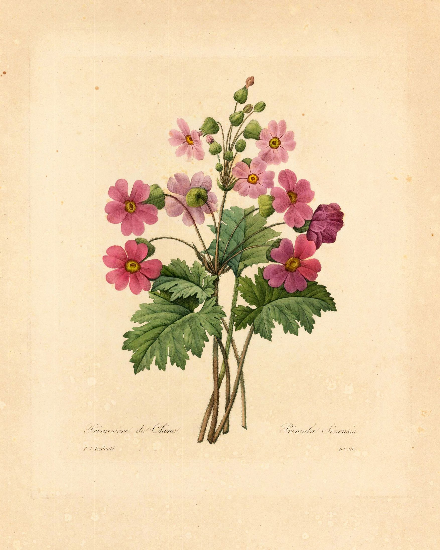 Red Chinese Primrose Flower Print Vintage Botanical Wall Art Redoute Flowers Book Plate No