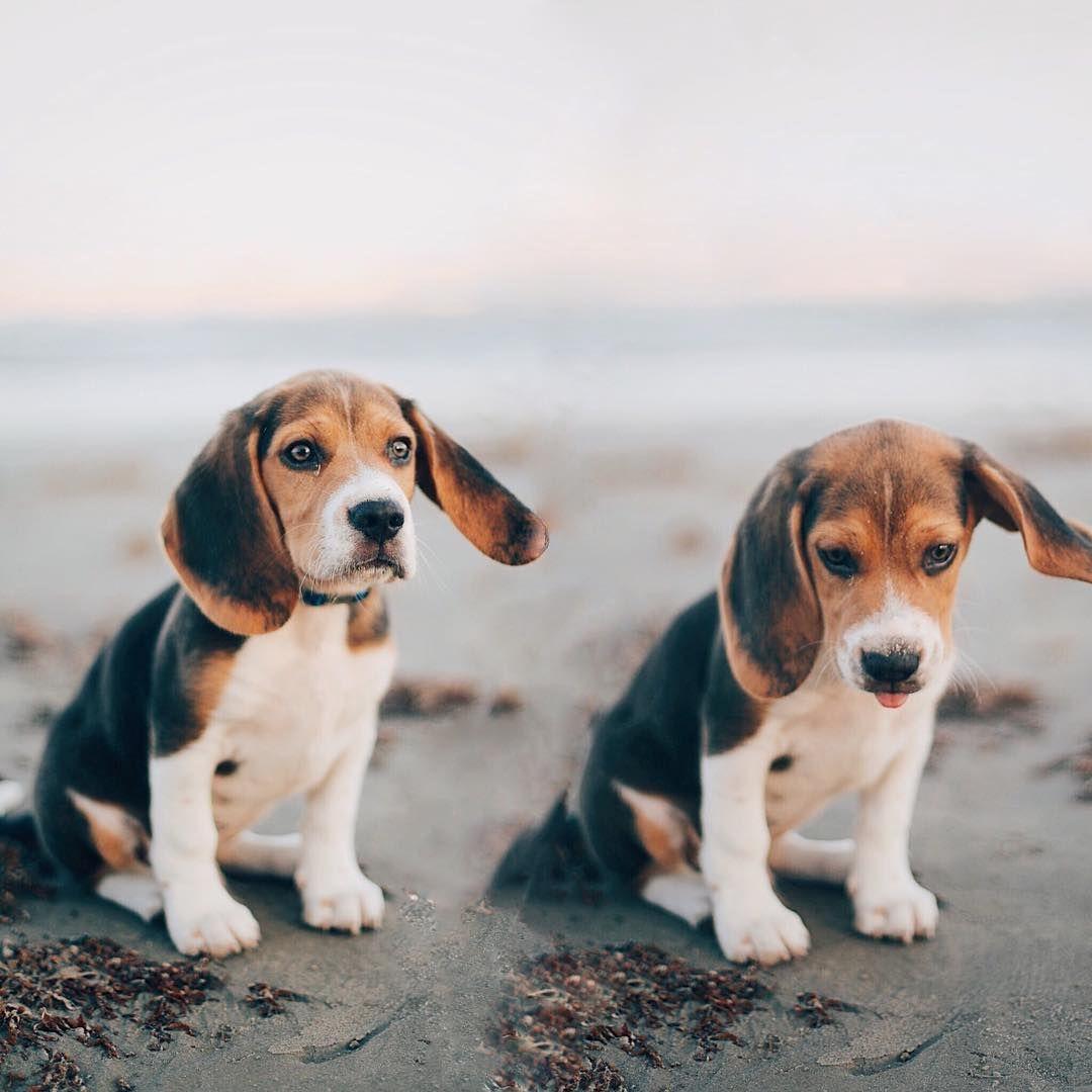 Babies Dog Breeds Cute Beagles Beagle Puppy