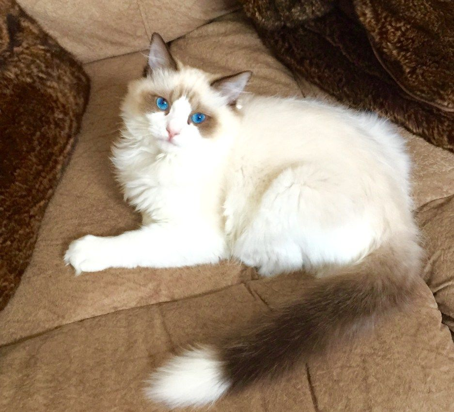 Pictures Of Ragdoll Cats With White Tipped Tails Cat Tail Pictures Ragdoll Cat Ragdoll Cat With Blue Eyes