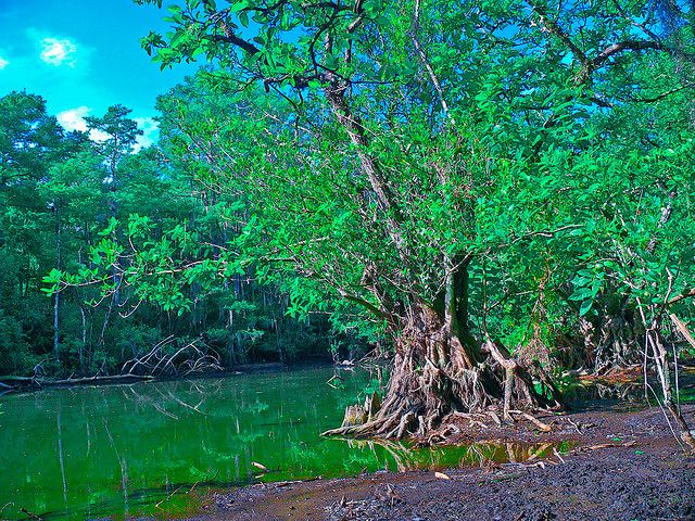 everglades trees | Everglades Tree of Life