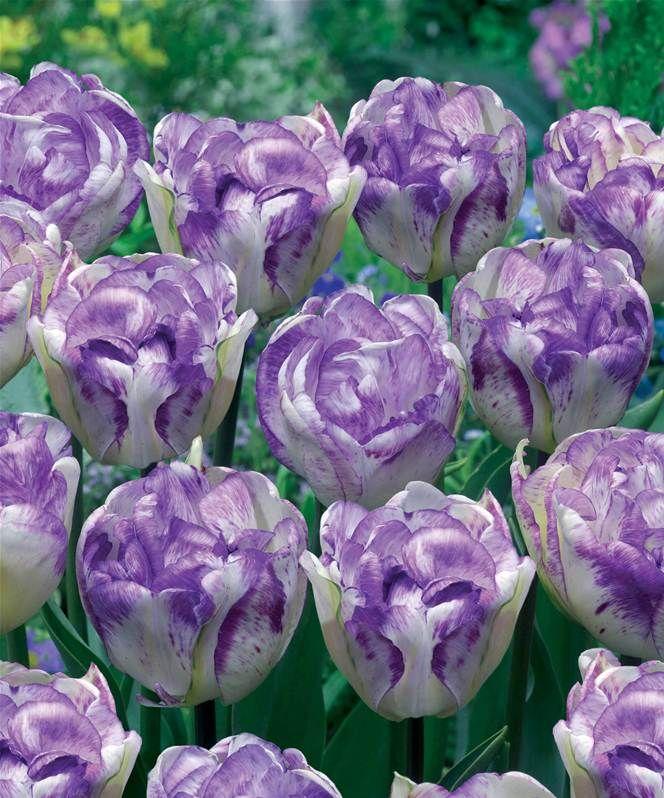 collection 15 tulipes 224 fleur de pivoine willemse