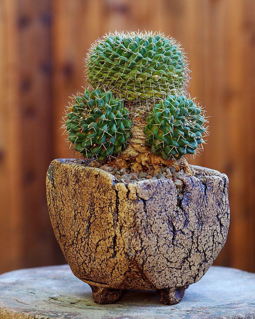 Mammillaria boelderliana - Flickr - Photo Sharing!