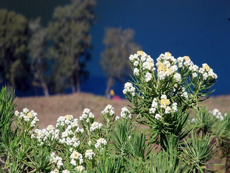 Meskipun Tergolong Flora Hampir Langka Belakangan Banyak Sekali Oknum Yang Mengaku Pecinta Alam Tetapi Berani Memetik Bunga Cantik In Bunga Flora Bunga Cantik