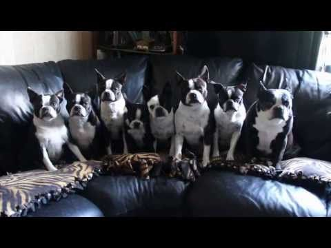 eight boston terrier dogs performing a sit stay trick at the same time watch boston terrier dogterrier dogstoxic foods for