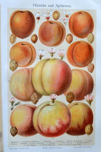 Aus einen Lexikon um das Jahr 1910 stammt diese wunderbare Bildtafel: Pfirsiche.    Es sind sehr schöne Illustrationen, die wunderbar dekorativ in ein