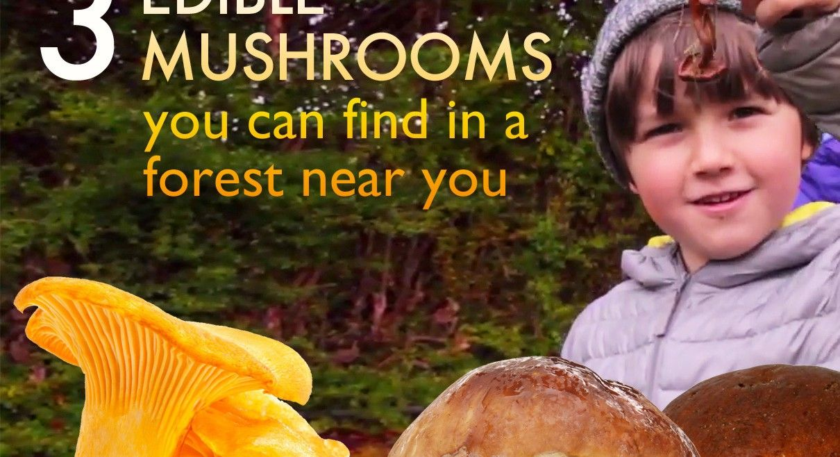 3 edible mushrooms that are easy to find and how to