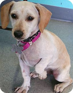 Pictures Of Annie A Dachshund Chihuahua Mix For Adoption In