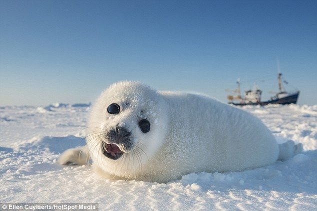 Snow seal image collections diagram writing sample and guide adorable baby seals just days old pictured rolling around in the adorable baby seals just days sciox Images