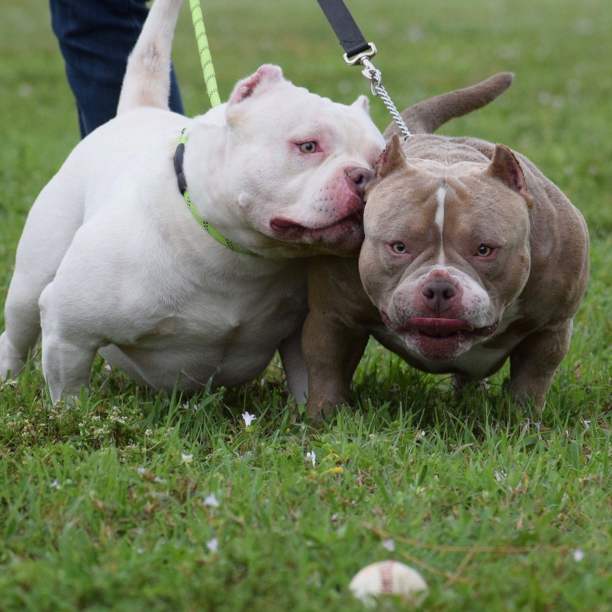 Top Pocket American Bully Breeder American Bully Pocket Bully