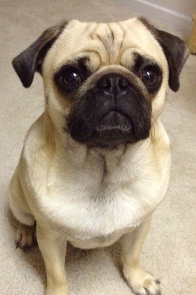 Perfect Pug With Images Pug Dog Pugs Dogs
