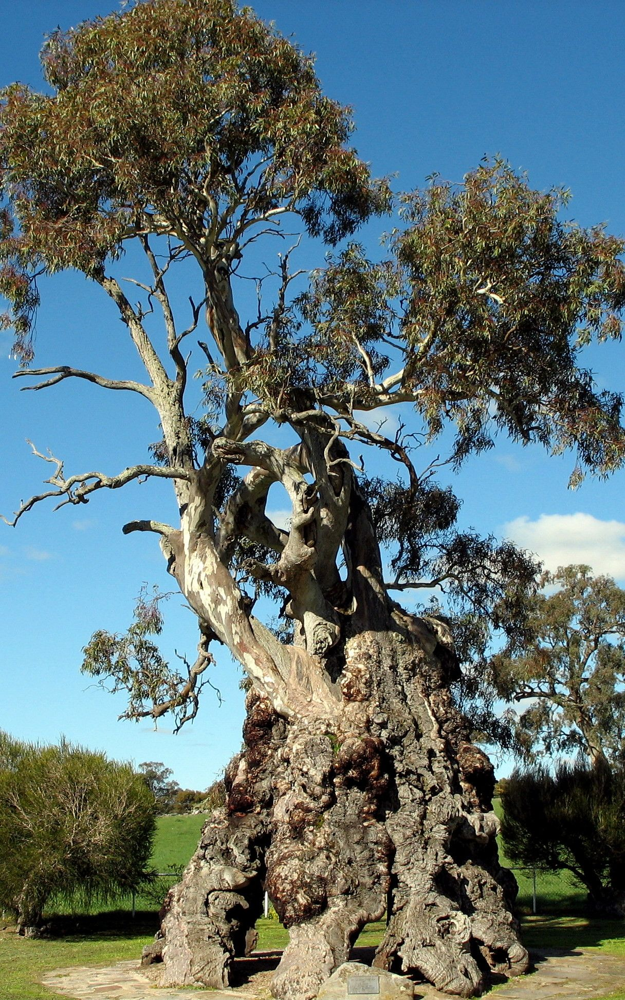 Herbig Tree Red Gum Home To The Herbig Family 1858