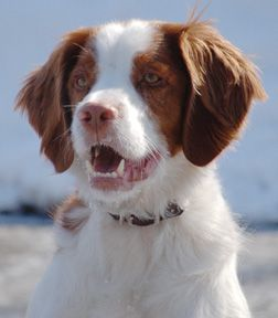 Brittany American Brittany Dog Rules Furry Friend
