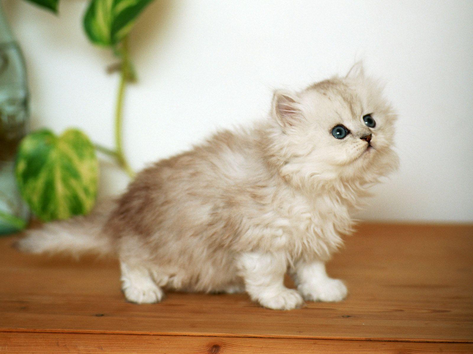 Cute White Fluffy Kitten wallpaper Cats Pinterest