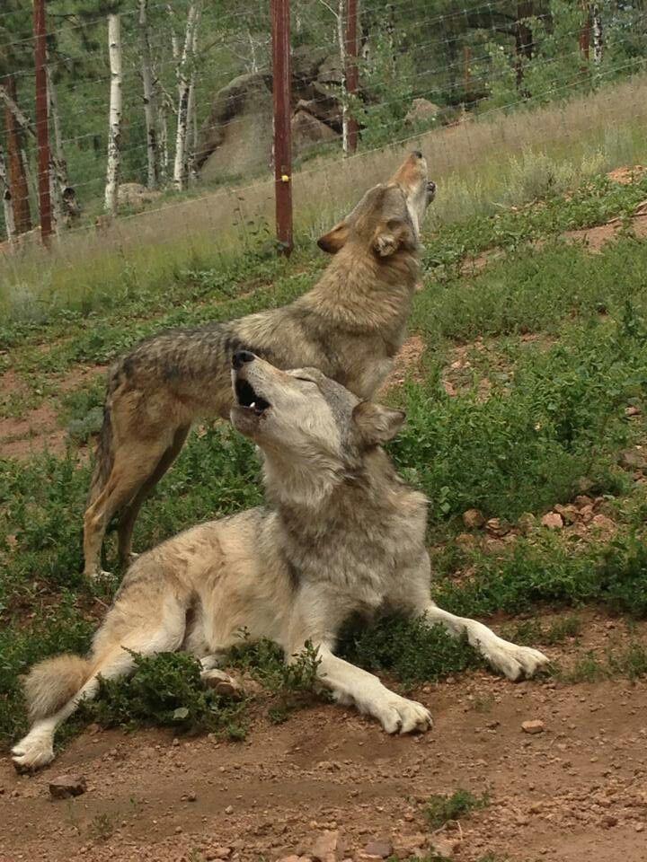 ..... Singing wolves .....