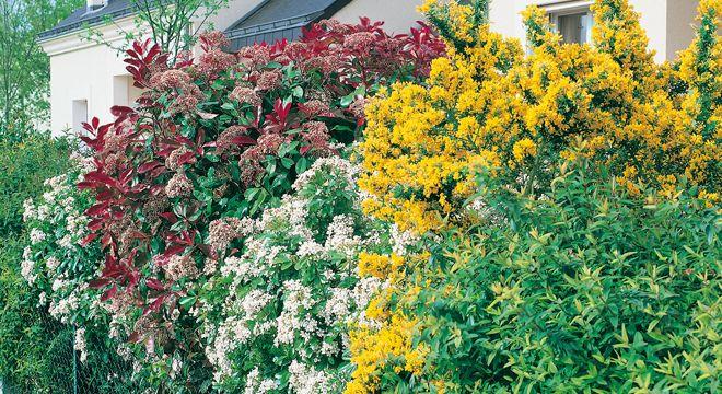 Siepi fiorite resistenti al freddo: quali sono le migliori | balcone ...