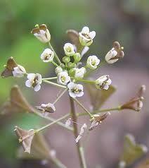 PLANTAS MEDICINALES SIN COSTO 100% EFECTIVAS: PAN Y QUESILLO (Capsella bursa-pastoris)