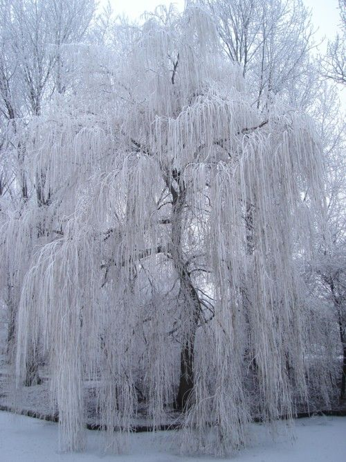 Weeping Willow Covered In Snow Winter Pictures Willow Tree Art Weeping Willow