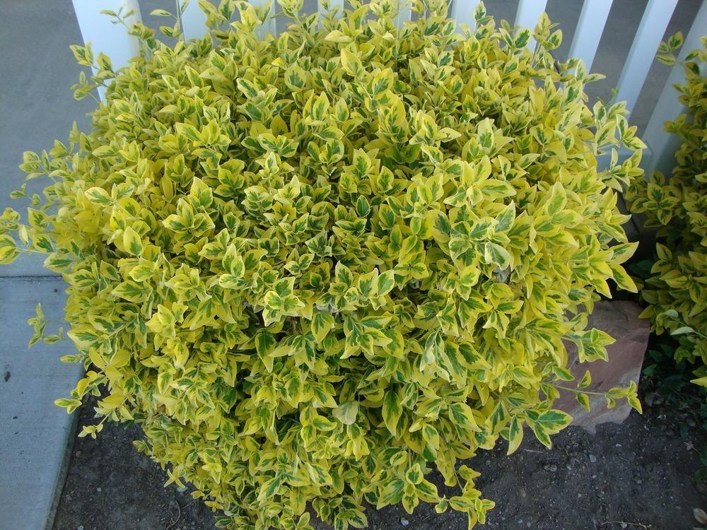 Picture of Live Golden Euonymus aka Euonymus j. 'Aureo-Marginata' Shrubs Plant Fit 5 Gallon Pot