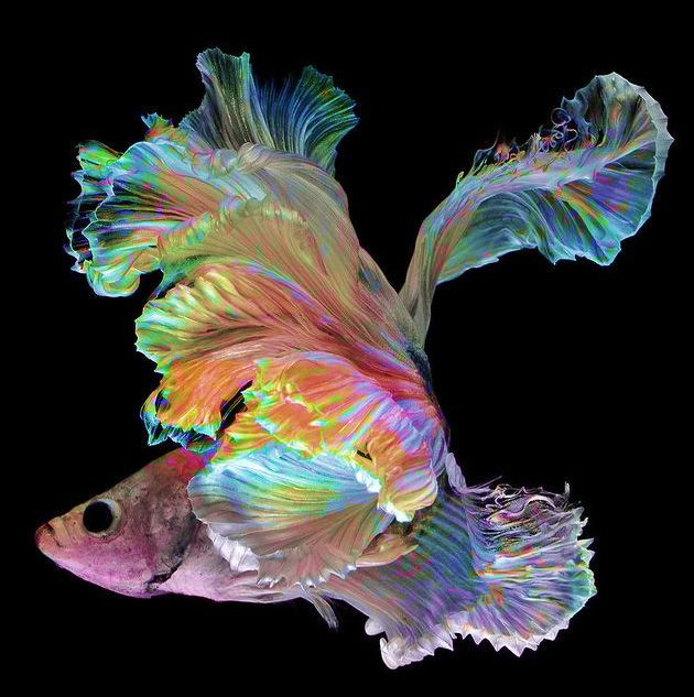 Photo shopped siamese fighting fish fluorescent for Fighting fish tank