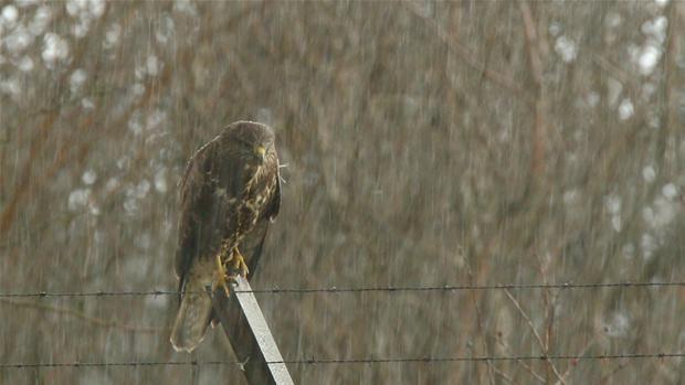 En Musvage Der Skutter Sig I Regn Og Kulde Musvage Vejr Og Fugle