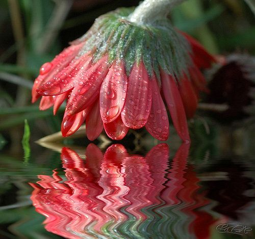 Even though the reflection of the flower is a bit distorted, it still looks like two flowers have grown towards each other, as if they were to kiss