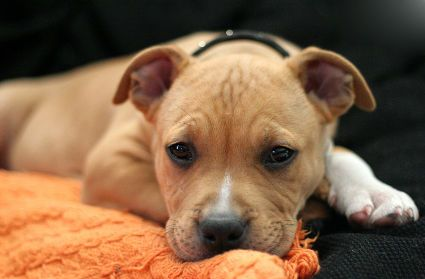 Meet the adorable Joey, Today's Puppy of The Day!