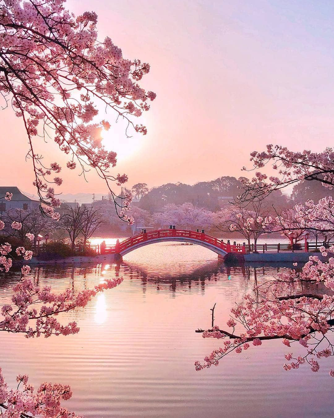 Cherry Tree Blossoms ... Spring In Japan