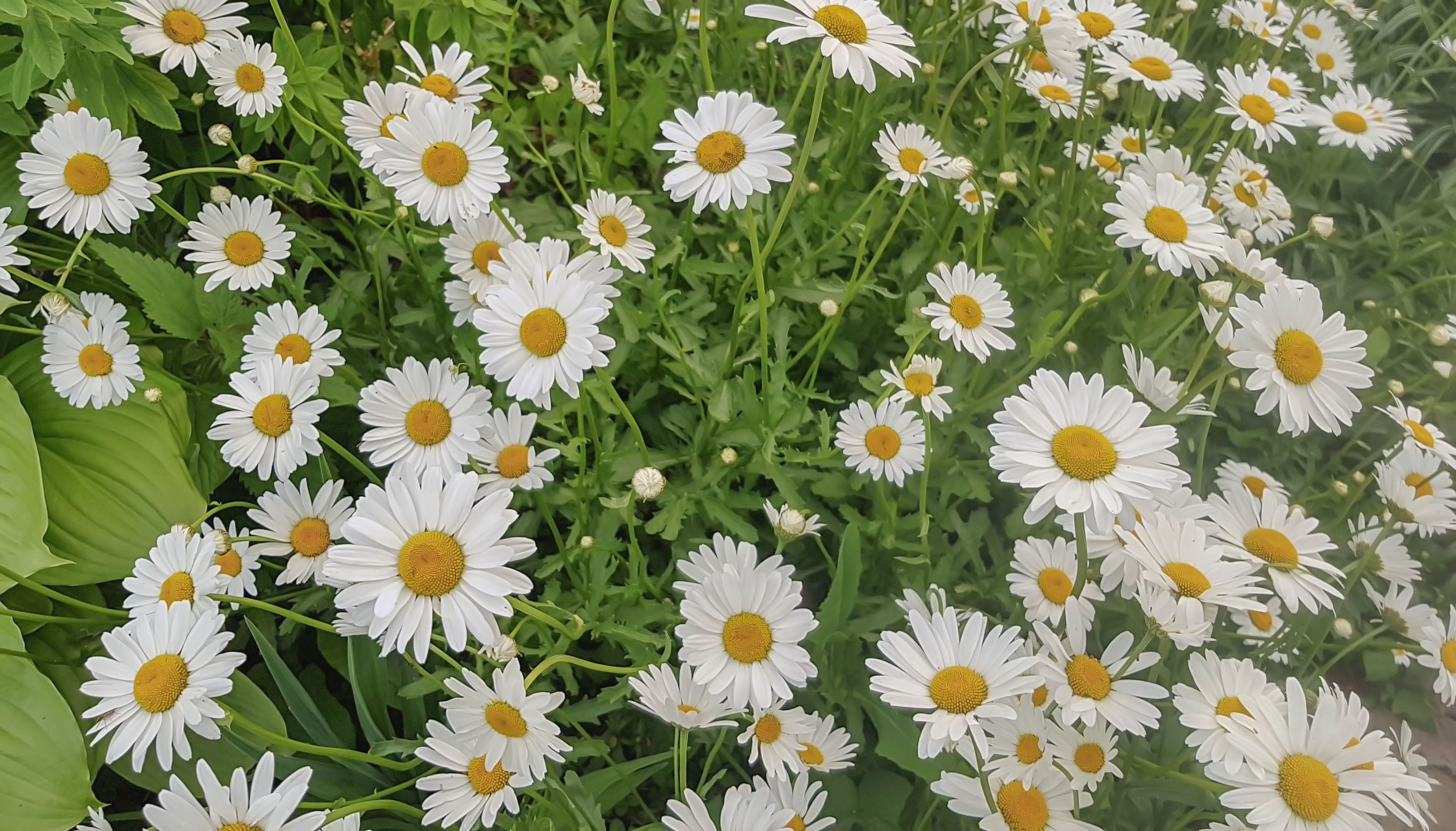 Chamomile plant growing in 2020 chamomile growing