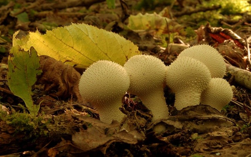 Common puffballs in Hillhouse Wood, near Colchester. Taken by Ian RowingPicture: Ian Rowing