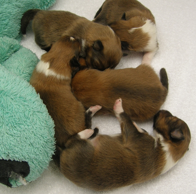 Texas Sheltie Breeders Sheltie Pups Shetland Sheepdog Puppy Lockehill Shelties Puppy Page Sheep Dog Puppy Sheltie Puppy Sheltie