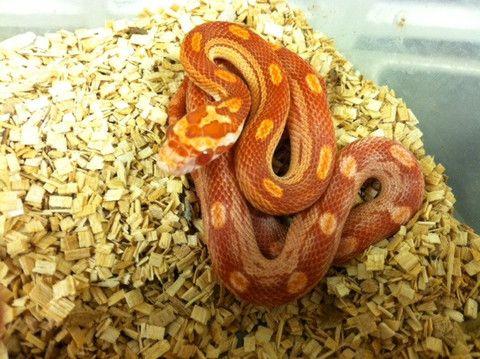 Amelanistic Motley Corn Snake
