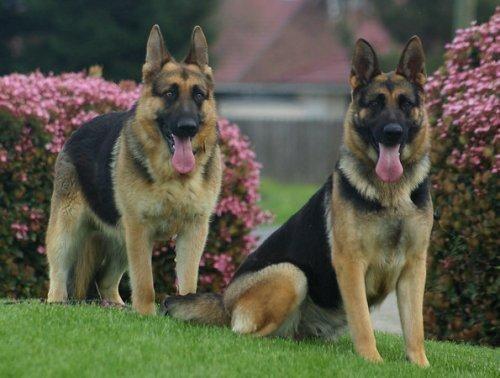 Cute Couple German Shepherd Puppies German Shepherd Dogs
