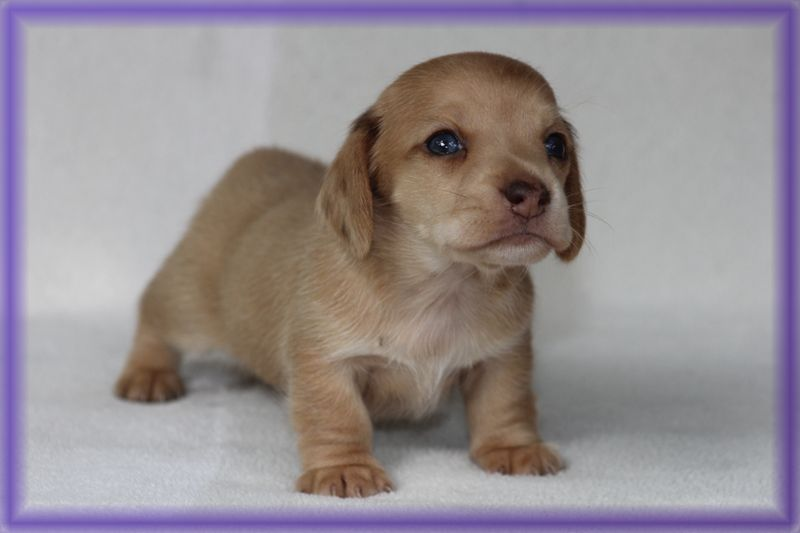 Abigail Red Dachshund Puppy For Sale Nc Dachshund Puppy