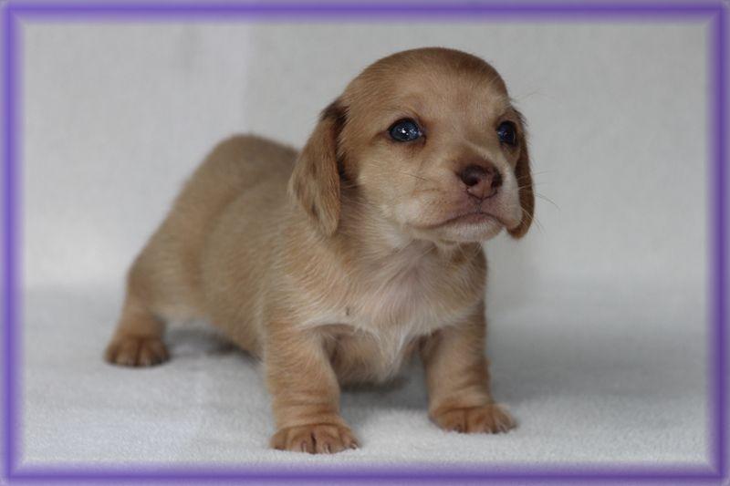 Abigail Red Dachshund Puppy For Sale Nc Dachshund Puppy