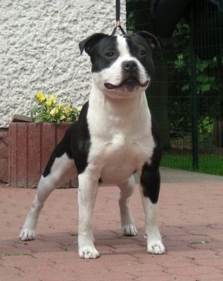 Gallery Category Black And White Staffordshire Bull Terrier