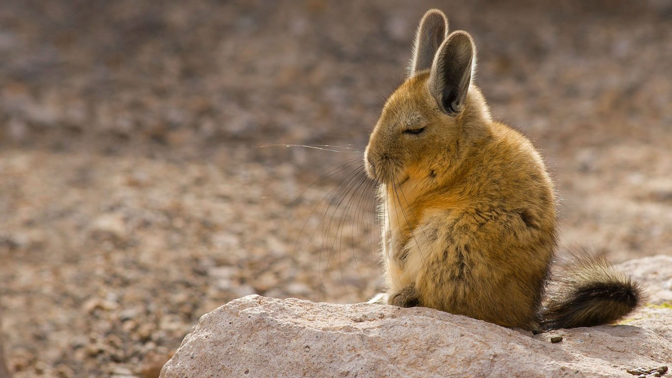 a southern viscacha in the andes mountains chris mattison minden pictures animal. Black Bedroom Furniture Sets. Home Design Ideas
