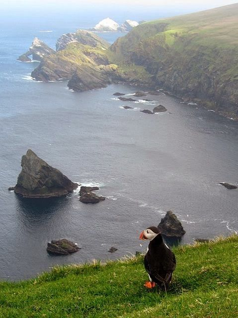 Puffin At Hermaness #shetlandislands