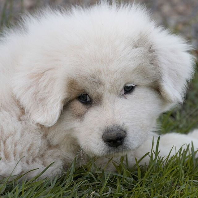 Great Pyrenees Dog Breed Information Great Pyrenees Puppy Great