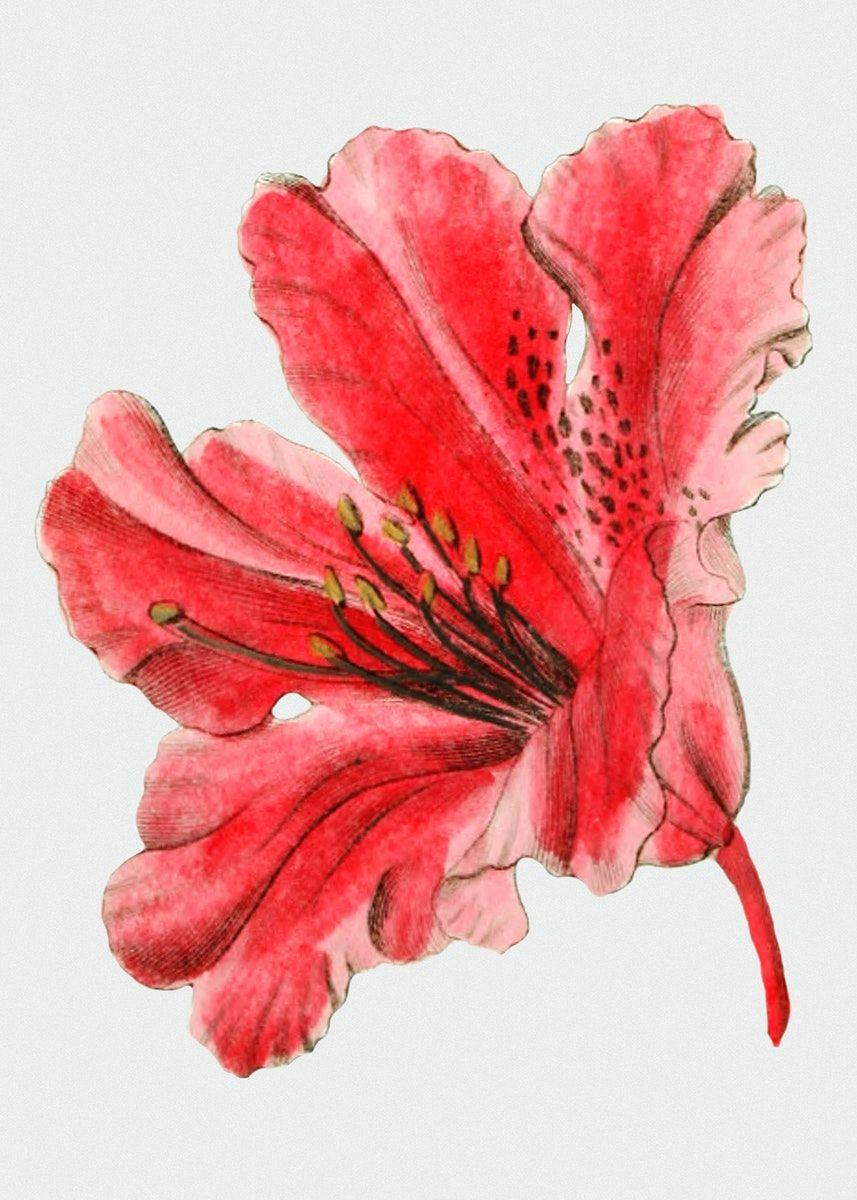 Red Azalea Flower Psd Illustrated Free Image By Rawpixel Com Maewh In 2020 Azalea Flower Azaleas Flower Illustration