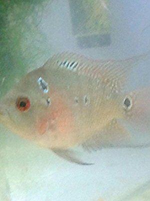 Live Flowerhorn Fish for Sale Super Red Dragon (Cichlid
