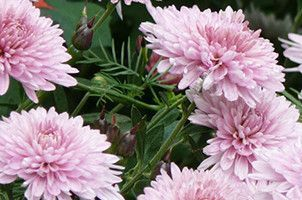 Garden Mum Chrysanthemum Morifolium Flower Essence