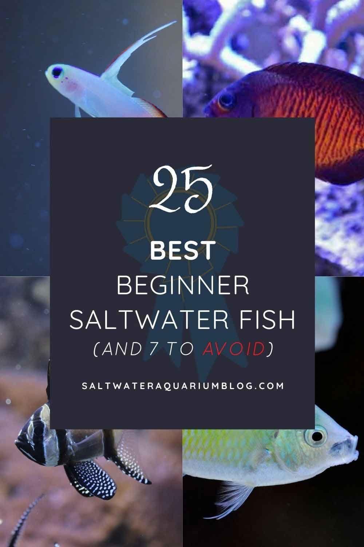 25 Best Beginner Saltwater Fish Including 7 To Avoid Saltwater Saltwater Aquarium Fish Fish