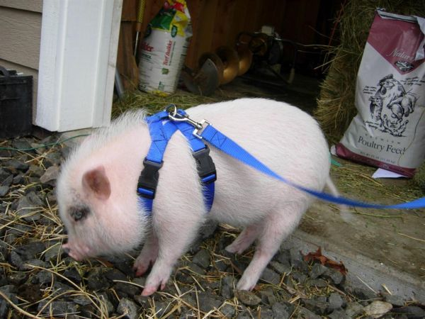 How To Walk Your Teacup Pig Teacup Pigs Pig Animals