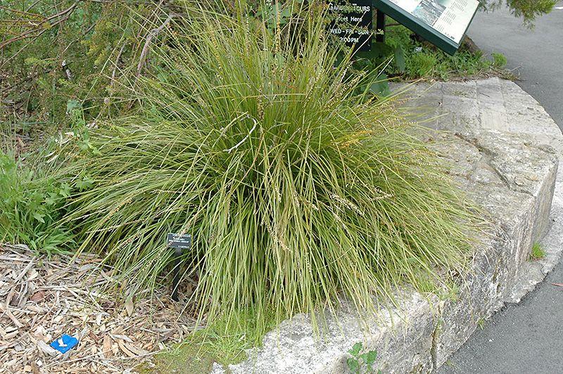 Lomandra Longifolia Breeze Lm300 Dwarf Mat Rush Lomandra Plants Landscape