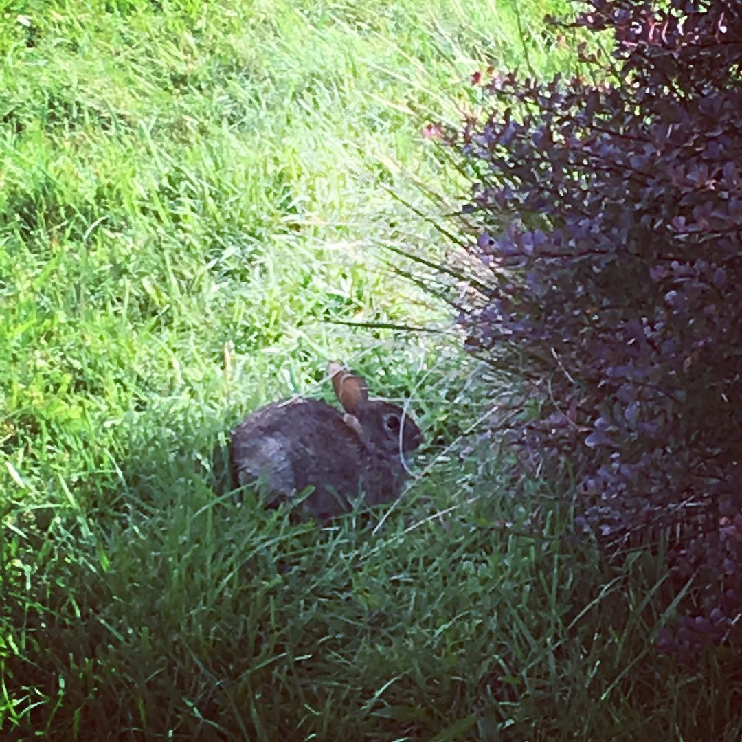 her name is Bun Bun and she lives in my yard #bunny # ...