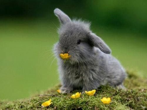 ارنب اللون الرمادي Cute Bunny Pictures Cute Animals Animals Beautiful