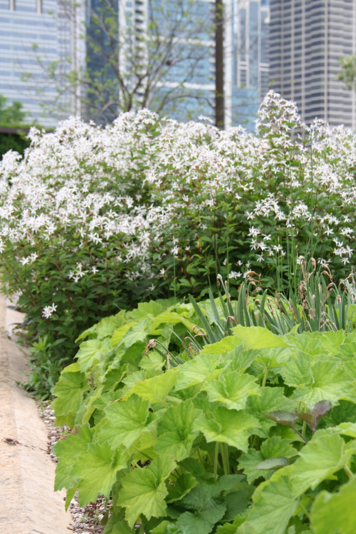 "Wonderful ""gentle"" combination. Heuchera villosa 'Autumn Bride' and Gillennia trifoliata, aka Bowman's Root."