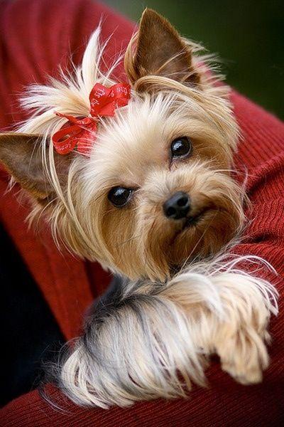 Pin By Bloemens Clocks Paintings On Tea Cup Puppies Yorkie Yorkie Puppy Yorkshire Terrier