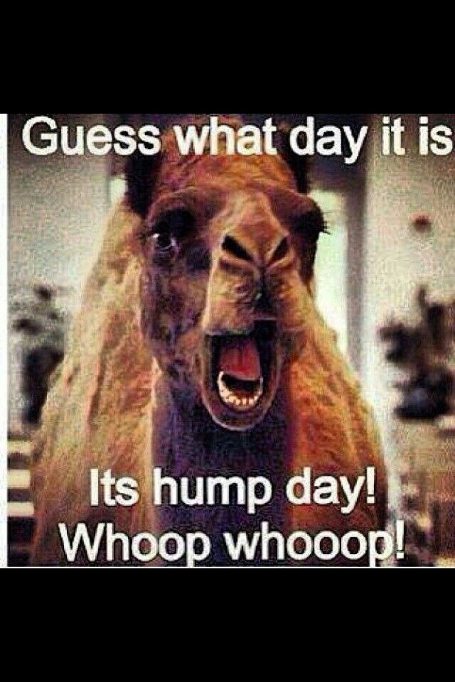 Hump Camel Memes Funny Day