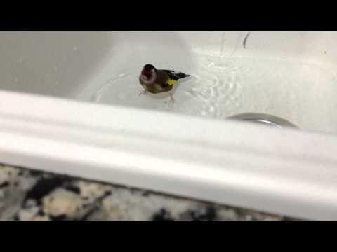 Jilguero bañándose en la pila